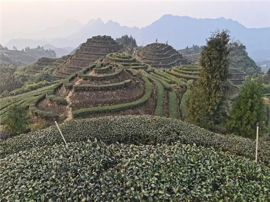 鹿鸣出好茶_第十四届中国・宜宾早茶节高山优质绿茶开采活动举行